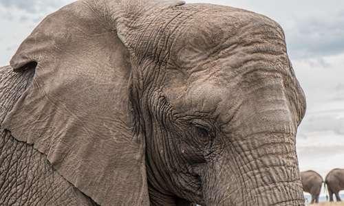 Quando gli elefanti piangono sono generalmente soggetti a shock emotivi non indifferenti
