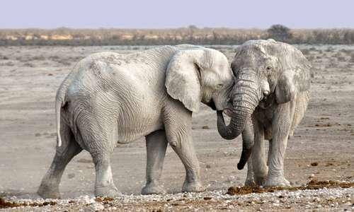 Quando gli elefanti piangono si trovano sempre in condizioni particolari.