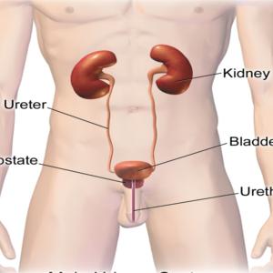 Reni e vescica vengono messi a dura prova quando l'urina viene trattenuta per lungo tempo a causa dell'urofobia.