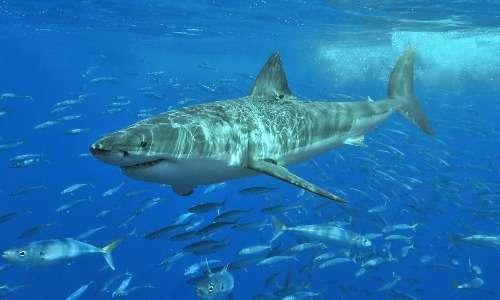 Il grande squalo bianco è uno dei protagonisti degli attacchi di squali, ma è anche una delle specie a rischio di estinzione