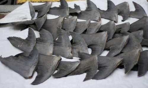 In contrapposizione agli attacchi di squali ai danni degli uomini, gli esseri umani decimano la popolazione di squali tramite la pratica dello spinnamento.
