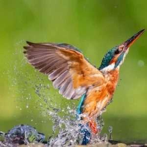 foto-martin-pescatore-mcfayden