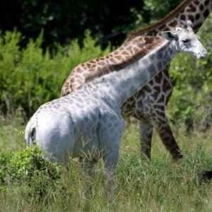 omo-giraffa-bianca