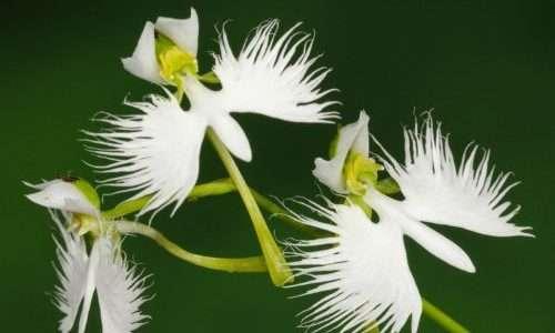 Ogni gambo dell' Habenaria radiata può contenere da 1 a 8 fiori
