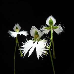 habenaria-radiata-fiore