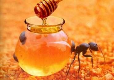 formiche-mellifere-miele