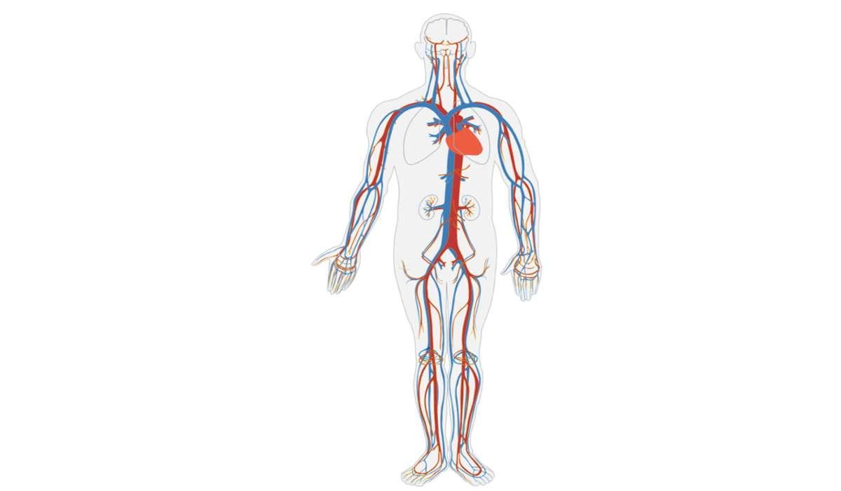 A quanto ammonta la somma delle lunghezze dei vasi sanguigni?