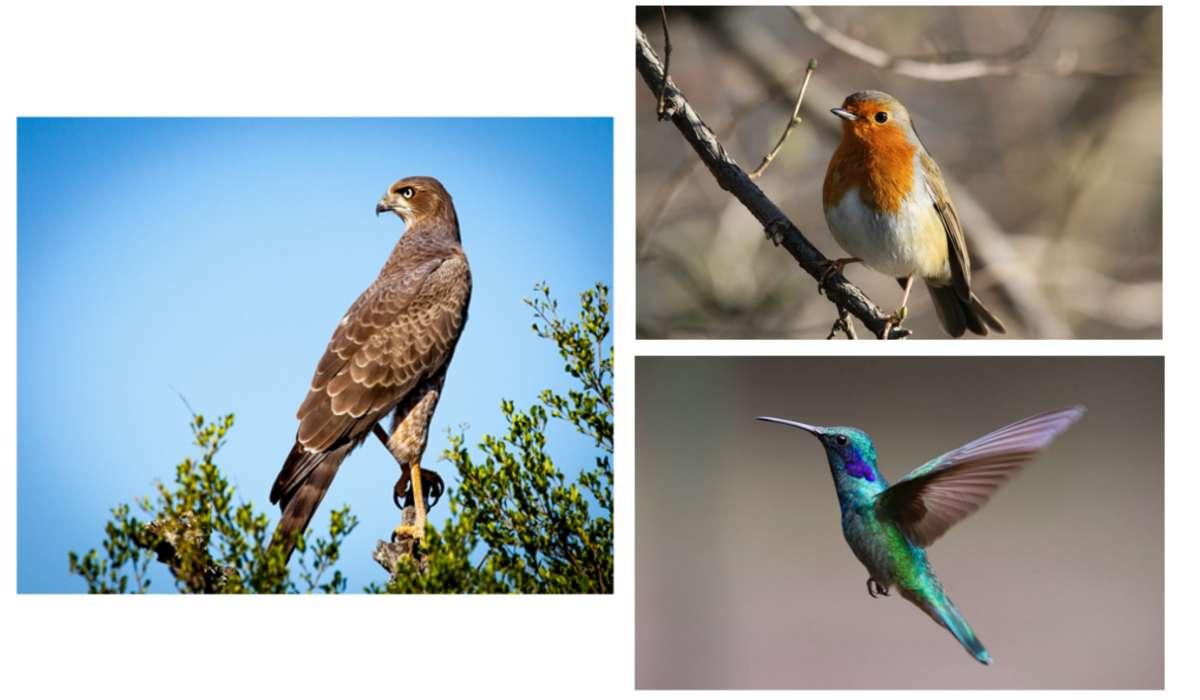 Quale di questi uccelli migra più lontano i relazione alla sua grandezza del corpo?