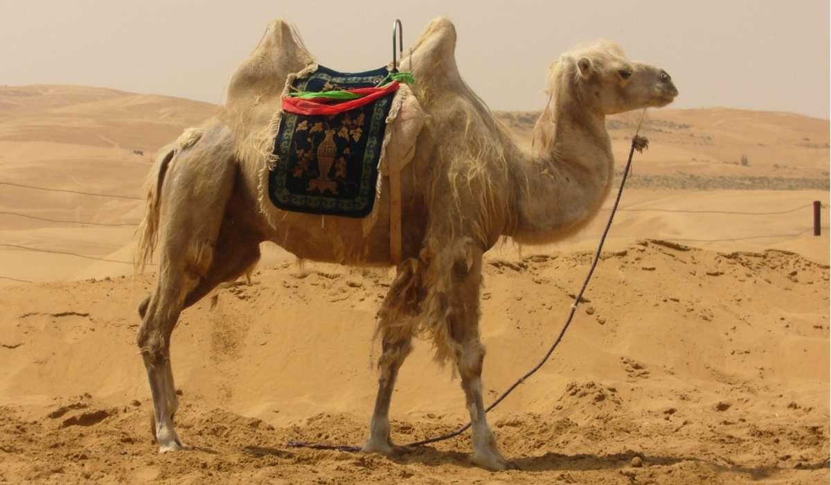 Quante sopracciglia hanno i cammelli?