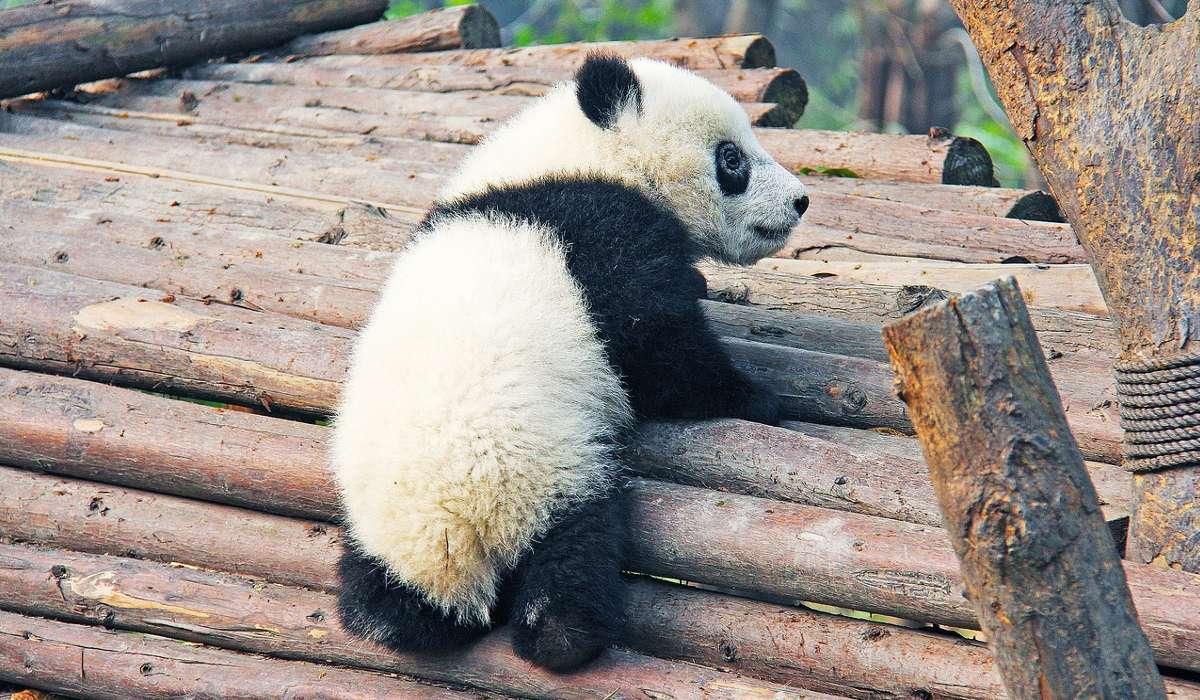 Secondo la tassonomia i panda sono una specie