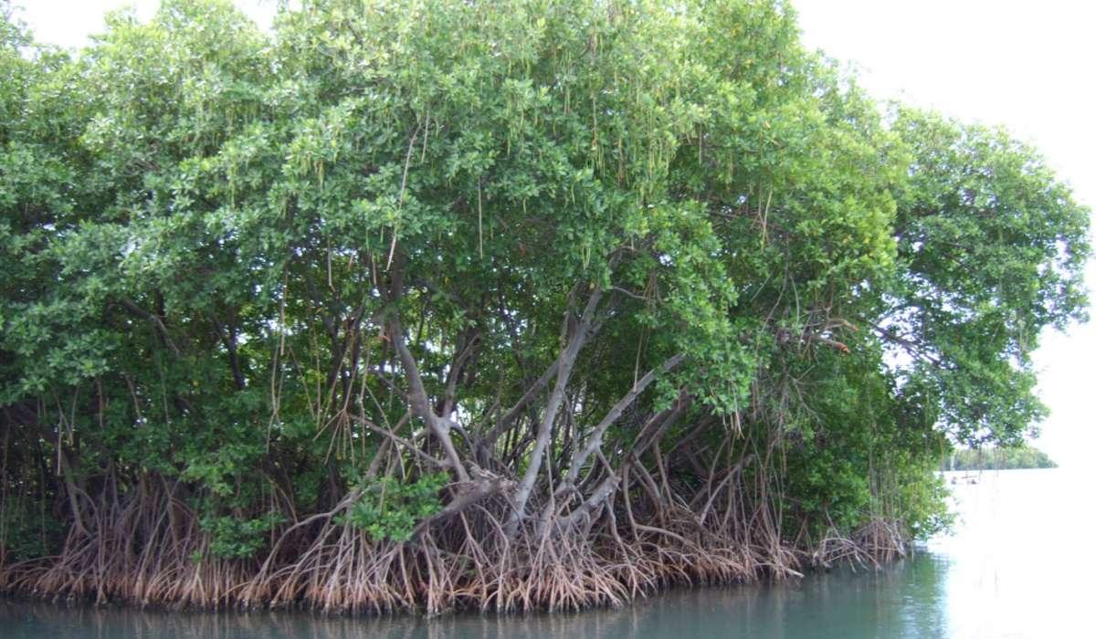 Come si chiama quella formazione che si sviluppa sui litorali bassi delle coste marine tropicali, mostrata in figura?