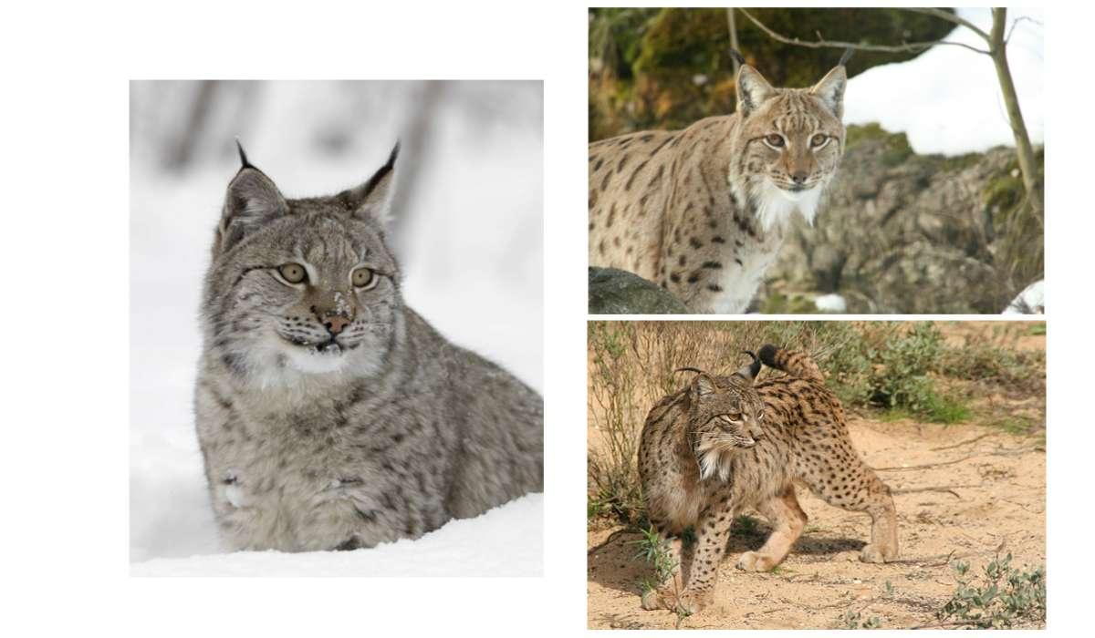 Quale membro del genere Lynx è attualmente classificato come una specie in pericolo di estinzione?