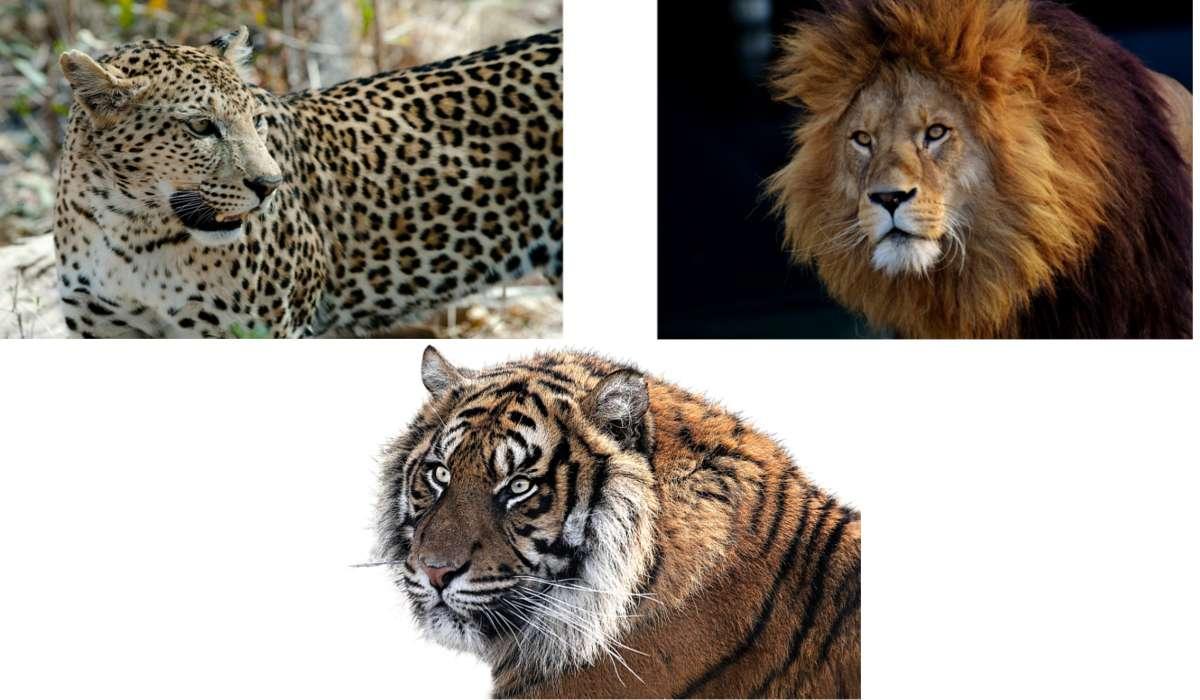 Quale specie di felini si possono trovare nelle terre dall'Africa meridionale alla penisola coreana?