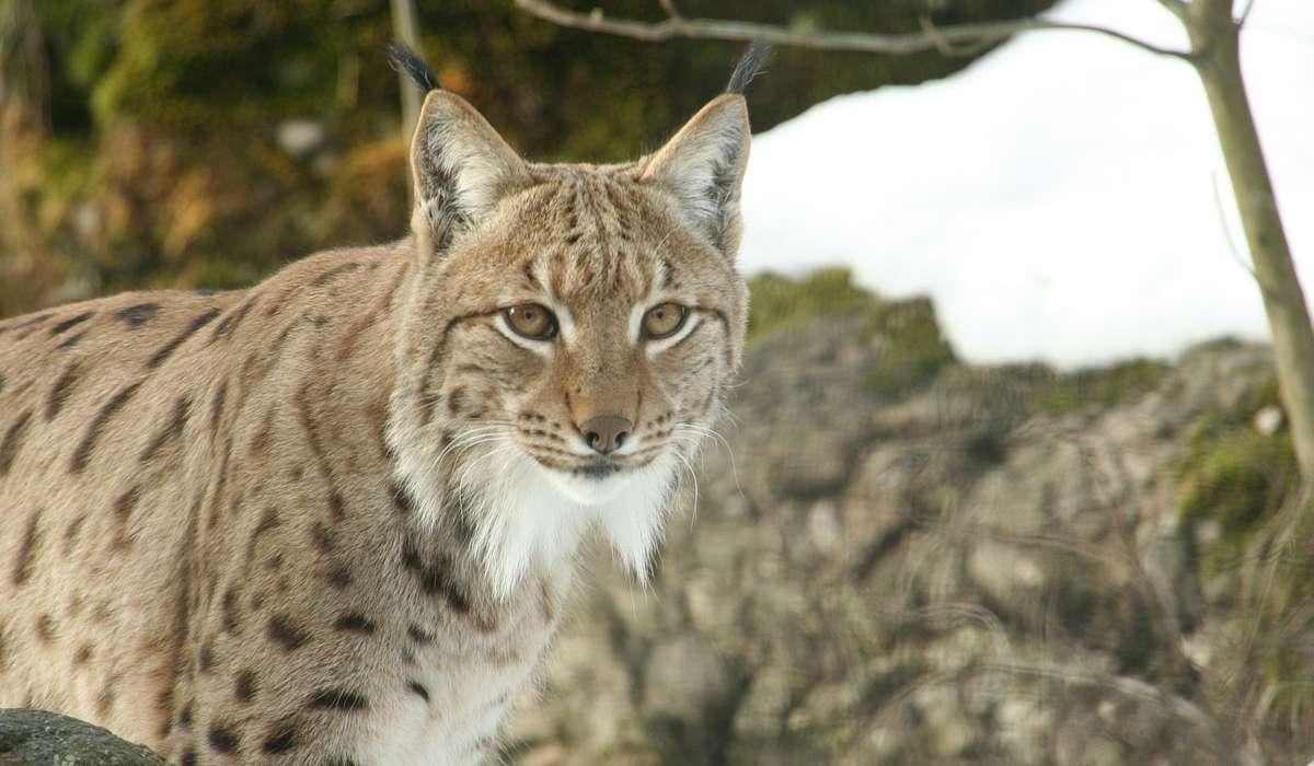 Quale membro del genere Lynx è il più piccolo in termini di dimensioni?