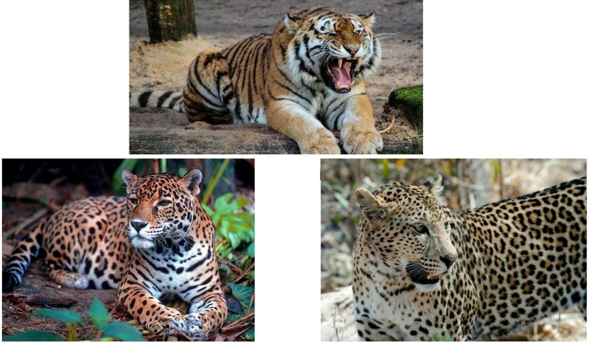 Quale grande gatto elencato di seguito risiede attualmente nel Centro e nel Sud America?