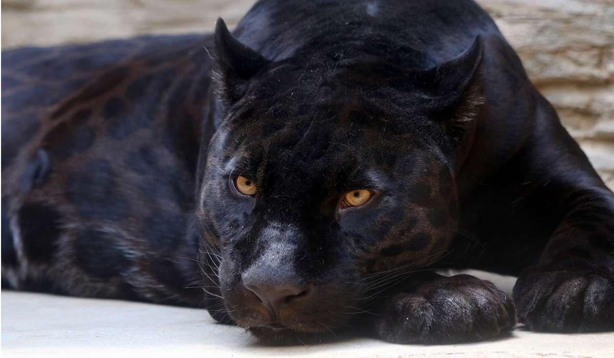 Il termine pantera nera è più frequentemente usato per: