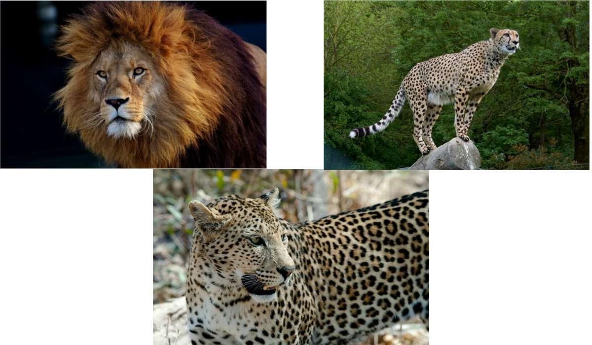 In una gara per catturare la preda, quale membro della famiglia felina è il più veloce?