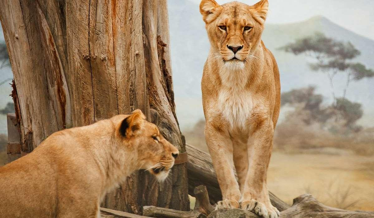 All'inizio del XXI secolo, i leoni erano limitati agli habitat in: