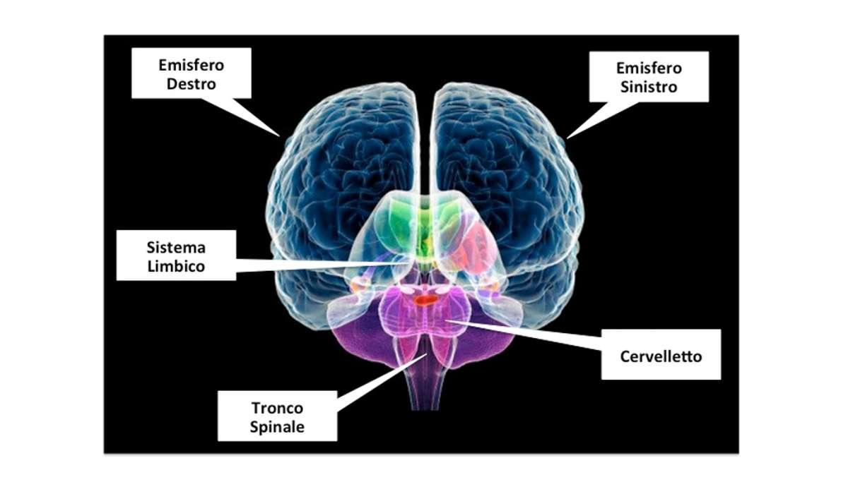 Quale di questi non fa parte del tronco cerebrale?