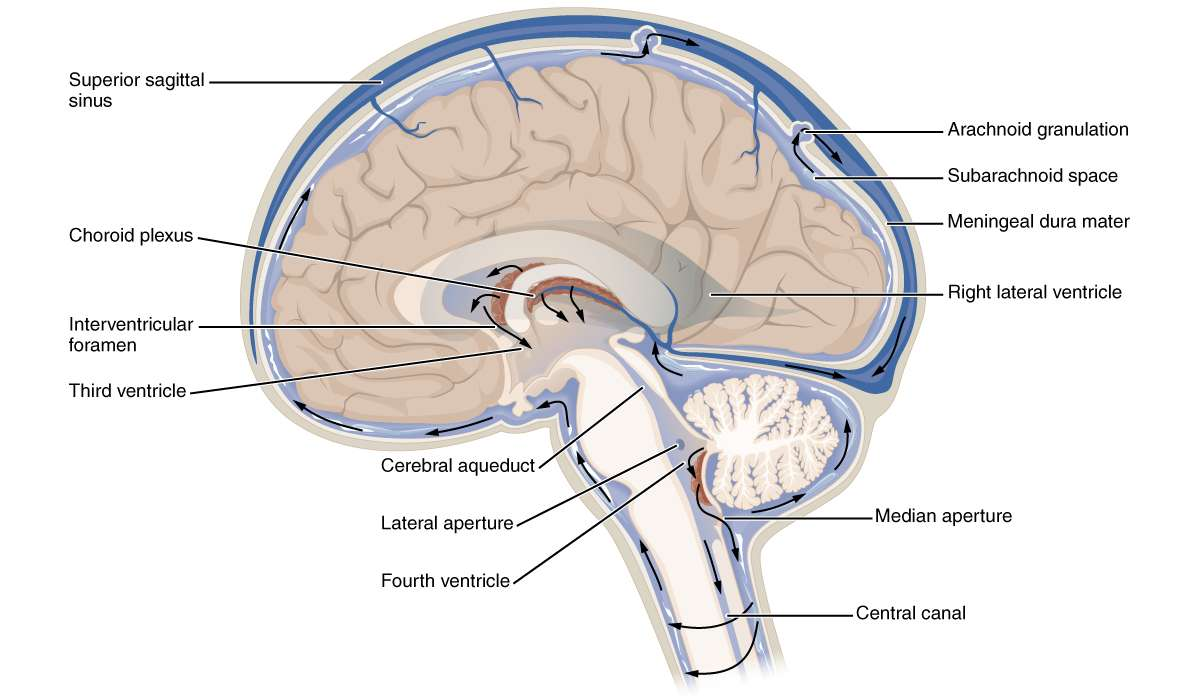 Qual è la funzione dell'acquedotto cerebrale ?