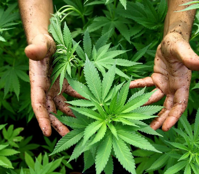 La marijuana italiana verrebbe prodotta dall'esercito.