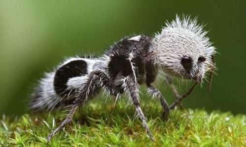 formica-panda