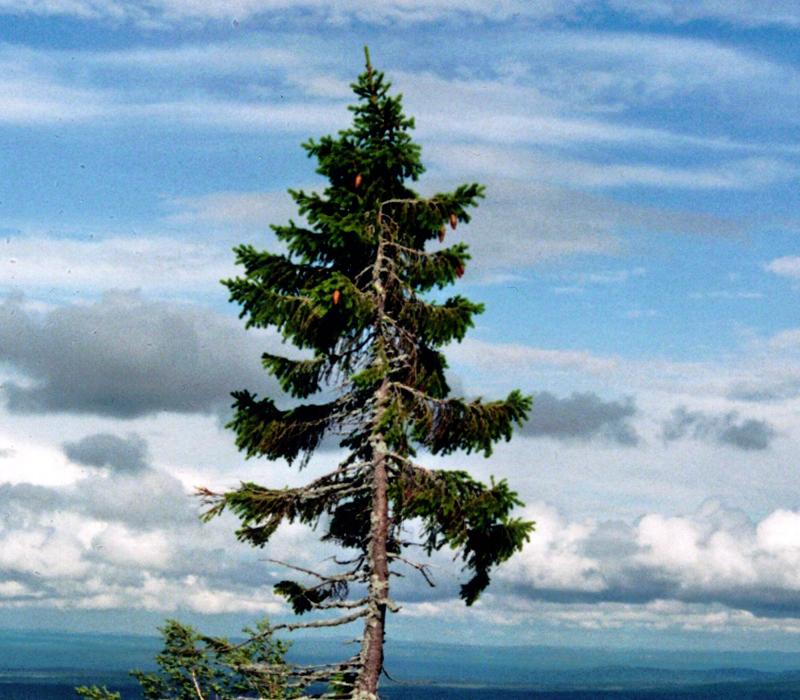 Old-Tjikko-albero
