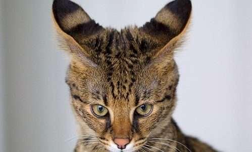 savannah-felino