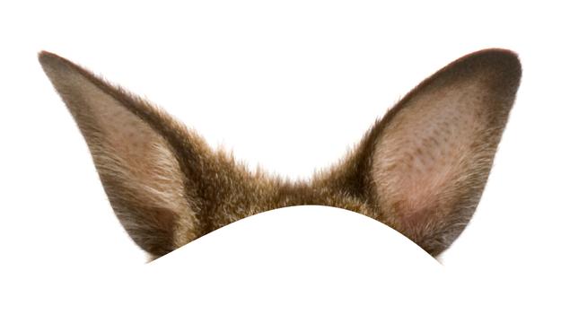 Di chi sono queste orecchie ?