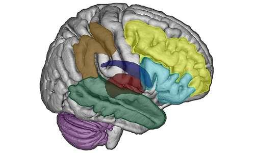 Il tempo passa in fretta? La percezione dello scorrere del tempo è un prodotto di alcune aree del cervello dedicate all'elaborazione delle informazioni temporali.