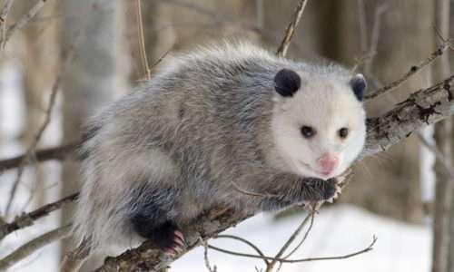 Uomo e opossum hanno comportamenti molto simili di fronte alla paura