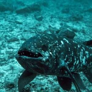 Il celacanto è un rarissimo pesce e fossile vivente dei mari.