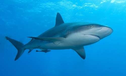 Anche lo squalo, come il celacanto (che è un pesce osseo), è un esemplare di fossile vivente.