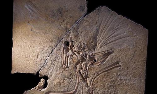 Un fossile di Archeopetrix,