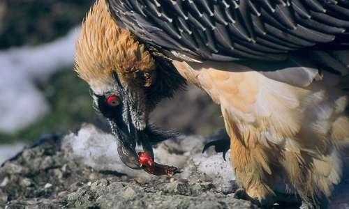 gipeto-avvoltoio-animali