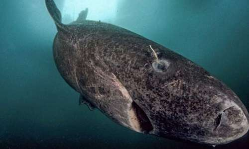 squalo-della-groenlandia-animali