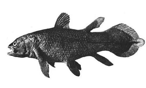 Celacanto: un pesce osseo e fossile vievente