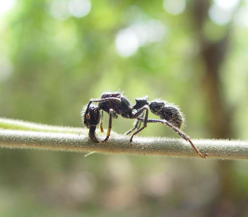 il morso della formica proiettile è tra i più dolorosi la mondo.