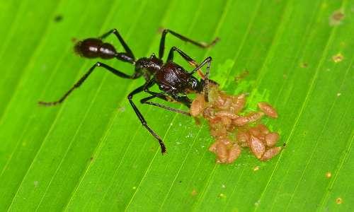 """La formica proiettile è detta anche """"hormiga veinticuatro"""" perché il dolore dura 24 ore."""