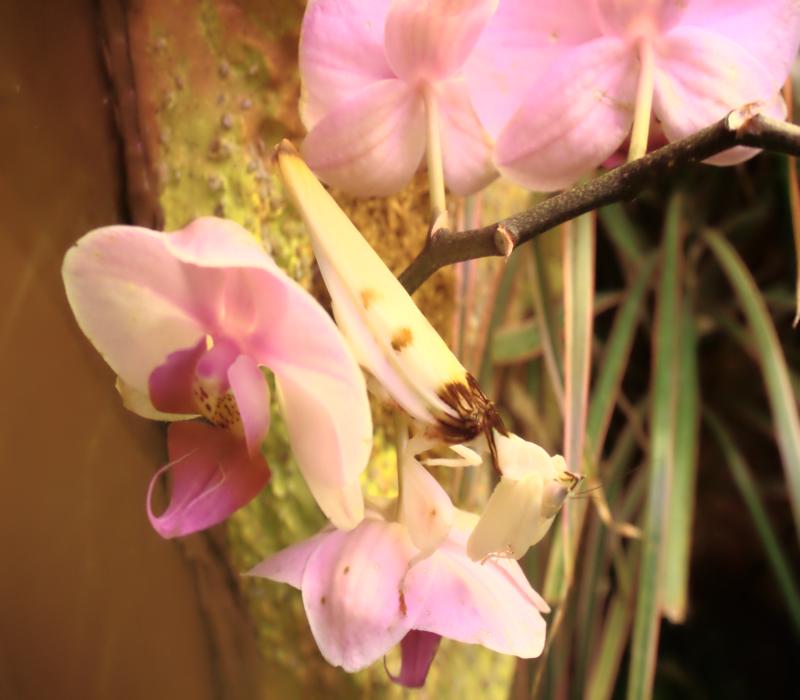 La mantide orchidea è un insetto dell'ordine dei mantodei