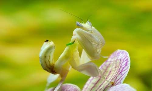 mantide-orchidea-insetti-natura