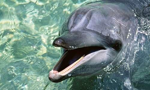 delfini parlanti animali