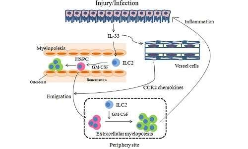 Rappresentazione del funzionamento della proteina IL-33 su un tessuto infiammato.