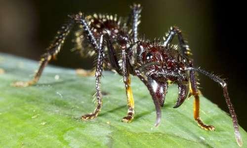 il dolore prodotto dal puntura di una formica proiettile è classificabile con 4 nella scala di Schmidt.