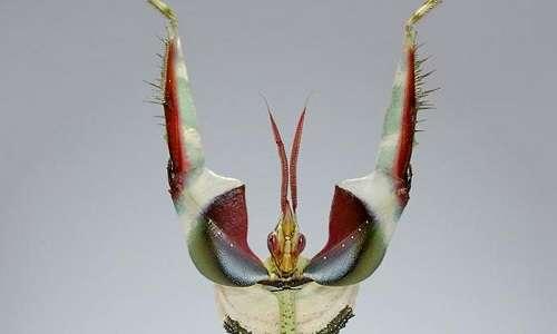 idolomantis-diabolica-animali-mantide-fiore-diavolo