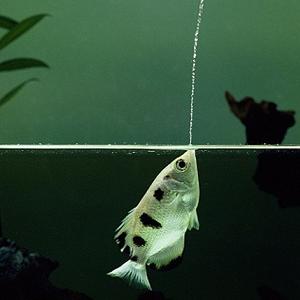 pesce-arciere-animali-toxotes-jaculatrix