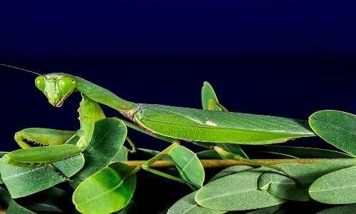 Le mantidi religiose costituiscono un gruppo di insetti pterigoti dell'ordine Mantodea. Fra questi troviamo anche la celebre mantide orchidea.