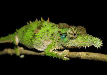 rhampholeon-spinosus-animali-lingua