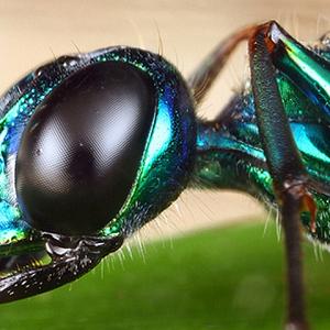 vespa-gioiello-insetto-animali-zombie