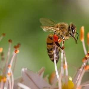 Le api felici sono quelle api che secondo alcune ricerche potrebbero trarre piacere nell'acquisire sostanze zuccherine.